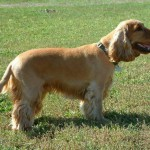 Cocker Spaniel Adult