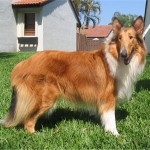 Collie cu par lung adult