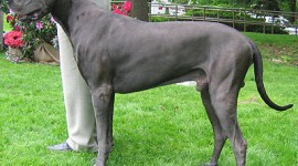 Dog German