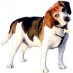 rase de caini: beagle