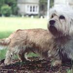Dandie Dinmont Terrier Adult