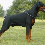 Doberman Adult