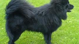 Canisa Spitz Lapon Suedez (swedish Lapphund)