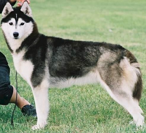 pierderea în greutate husky)