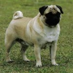 Pug Adult