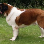 Saint-Bernard Adult