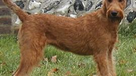 Rase de caini: Terrier Irlandez