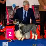 Schnauzer European Dog Show 2012 Best Puppy of the Day