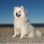 Rase de caini: American Eskimo