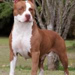 Rase de caini: American Pit Bull Terrier