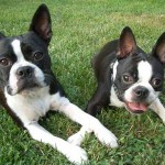 Rase de caini: Boston Terrier