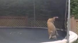 Distractie maxima pentru un Bulldog: Trambulina – VIDEO