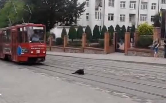 Caine vs. tramvai – video amuzant caini