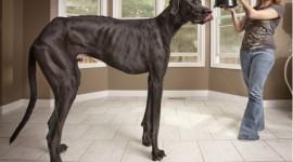Cel mai inalt caine din lume in Cartea Recordurilor Guiness